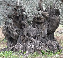Olive Tree by pahit
