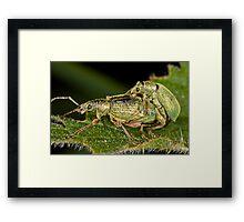 Weevils mating Framed Print