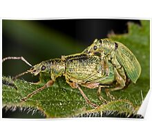 Weevils mating Poster