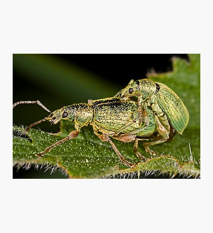Weevils mating Photographic Print