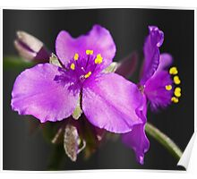 Prarie Spiderwort Poster