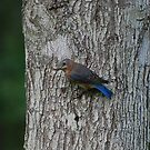 Female Eastern Bluebird by Irvin Le Blanc