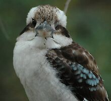 Kookaburra - Blackbutt Reserve by CasPhotography