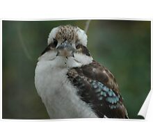 Kookaburra - Blackbutt Reserve Poster