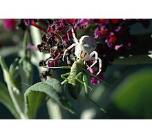 Crab Spider with katydid prey Photographic Print