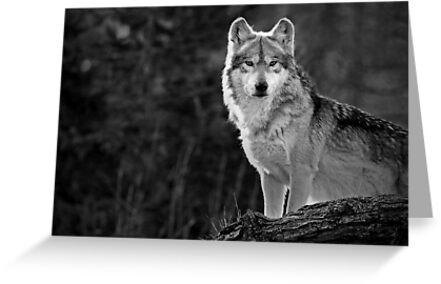 Lone Wolf by Scott Denny