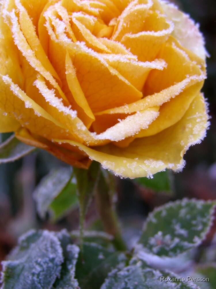 The Last Rose by Roxanne Persson