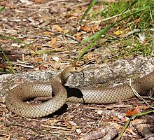 Eastern Brown Snake by byronbackyard