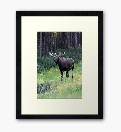 Canadian Moose Framed Print