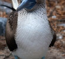 Sula Nebouxii (Blue-footed Booby) by becks78