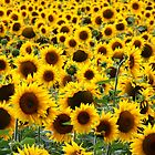 Sea of Sunflowers by helenlloyd