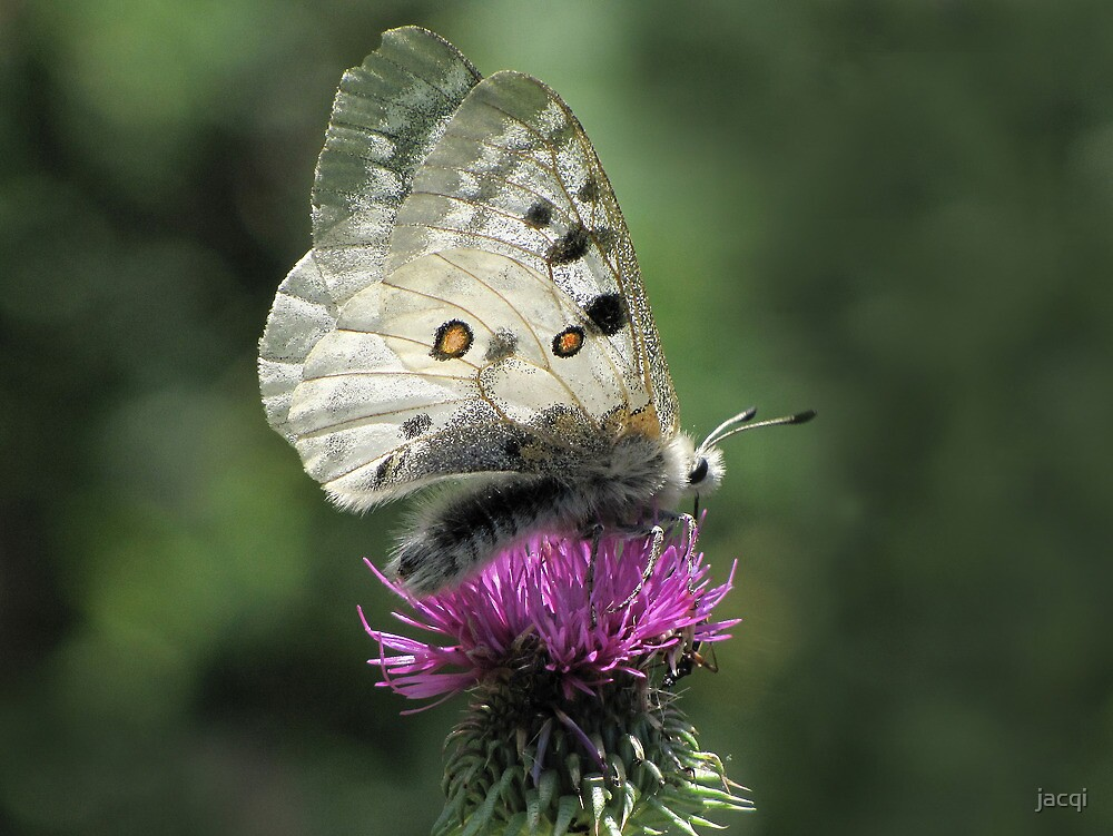 Clouded Apollo Butterfly by jacqi