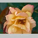 Beautiful  Nature: Roses - 5 by houk