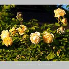 Beautiful  Nature: Roses - 6 by houk