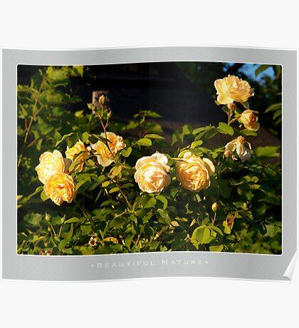 Beautiful  Nature: Roses - 6 Poster