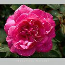 Beautiful  Nature: Roses - 8 by houk