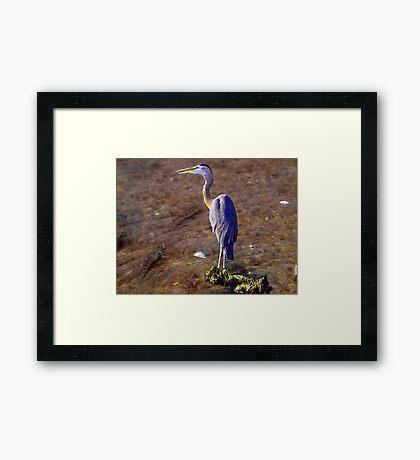 Minnow Hunt Framed Print