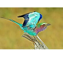Lilac-Breasted-Roller - Botswana Photographic Print