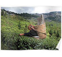 India - Darjeeling दार्जिलिंग - Tea garden Poster