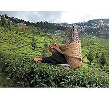India - Darjeeling दार्जिलिंग - Tea garden Photographic Print