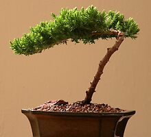 A Juniper Bonsai by jayant