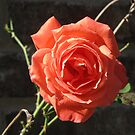 Beautiful Red Rose by janetmarston