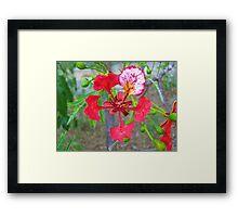 Poinciana Flower Framed Print