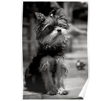 Lola the Yorkie Poster