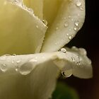 white rose 6 by FotosdaMau