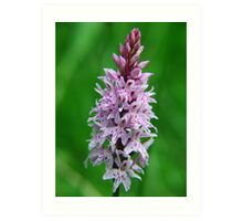 Common Orchid in Kent Art Print