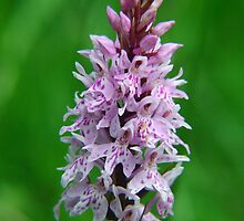Common Orchid in Kent by Dave Godden