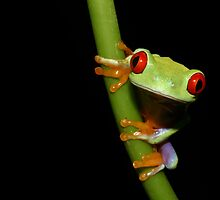 Red eyed tree frog on stalk by AngiNelson