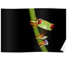 Red eyed tree frog on stalk Poster