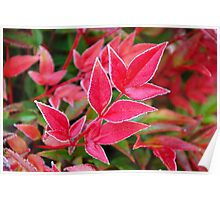ice crystals on bamboo leaves Poster