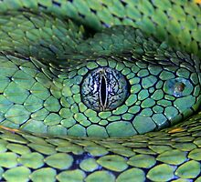 Bush viper by AngiNelson