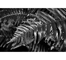 Sword Fern Photographic Print
