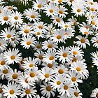 A Bush Full of Daisies by Shane Viper