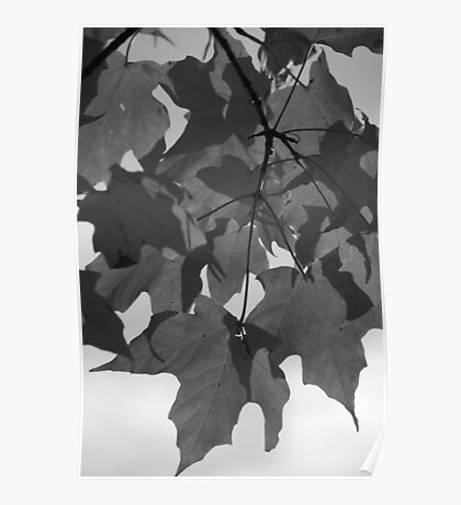 Red Maple in Black and White Poster