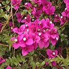 bougainvillia by jim painter