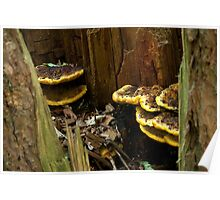 Yellow edged bracket in hollow tree stump Poster