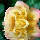 reflection rose by cynthiab
