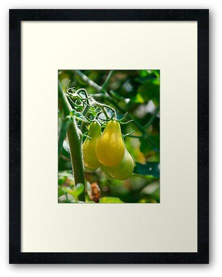 Yellow Pear Tomatoes on Vine  by jojobob