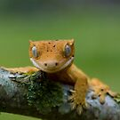 Young crested gecko by AngiNelson