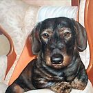 Digby the wire haired Dachshund. by allspp