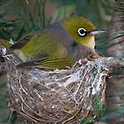 Silver Eye on Nest by Russell Spence