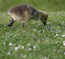 Gosling on the Move by ellismorleyphto