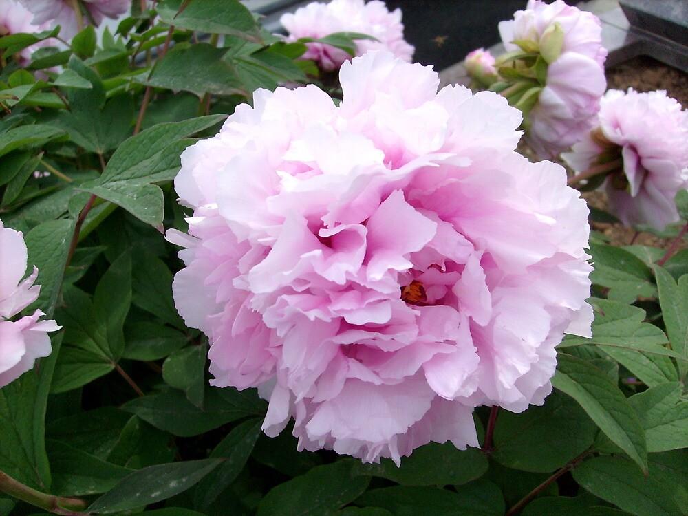 Beautiful pink.... by Ana Belaj
