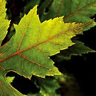 Red & Green Maple Leaf by Xander Ashwell