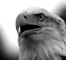 Bald Eagle Black and White by mrshutterbug