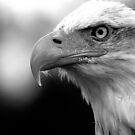 Bald Eagle Black and White by mrshutterbug